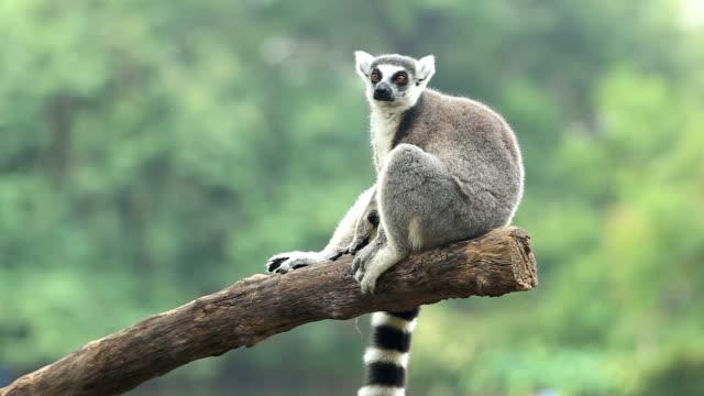 sitting lemur - lemur bildbanksvideor och videomaterial från bakom kulisserna