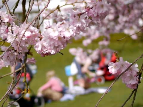 seduto all'aperto in primavera con fiore di ciliegio - parte della pianta video stock e b–roll