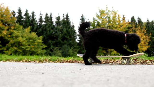 cane che fa skateboard - skate video stock e b–roll