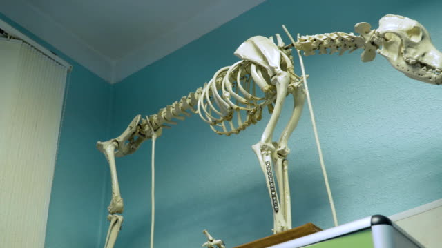 Skeleton of a dog in a vet clinic Model of a dog's skeleton with bones and skull.. Full-size dog skeleton in a veterinary clinic. animal skeleton stock videos & royalty-free footage