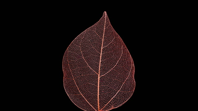 Skeleton of leaf on a black background.