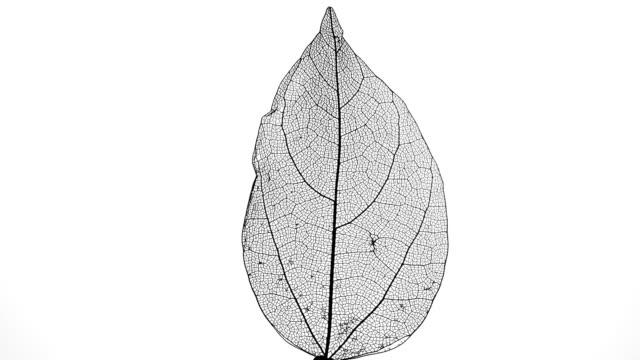 skelett av löv på en vit bakgrund. - mineral bildbanksvideor och videomaterial från bakom kulisserna