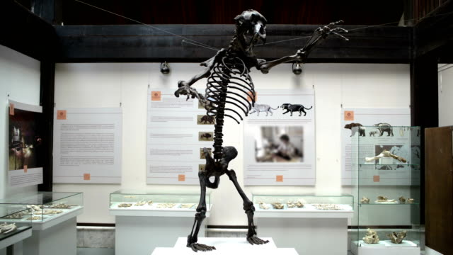 skeleton of the prehistoric bear in the museum skeleton of the prehistoric bear in the museum animal skeleton stock videos & royalty-free footage