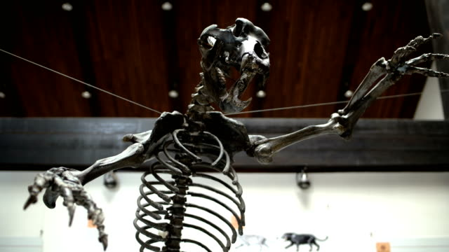 skeleton of the prehistoric bear,close up skeleton of the prehistoric bear,close up animal skeleton stock videos & royalty-free footage