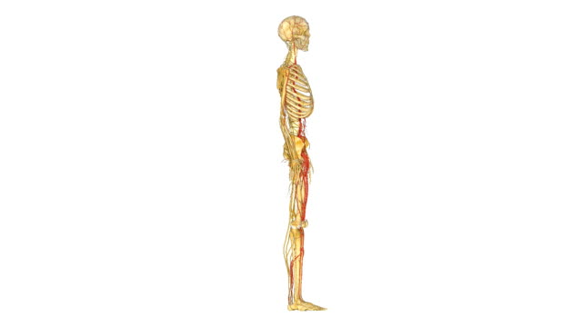 Skeleton with nerves A nerve is an enclosed, cable-like bundle of axons (the long, slender projections of neurons) in the peripheral nervous system. A nerve provides a common pathway for the electrochemical nerve impulses that are transmitted along each of the axons to peripheral organs. heart internal organ stock videos & royalty-free footage