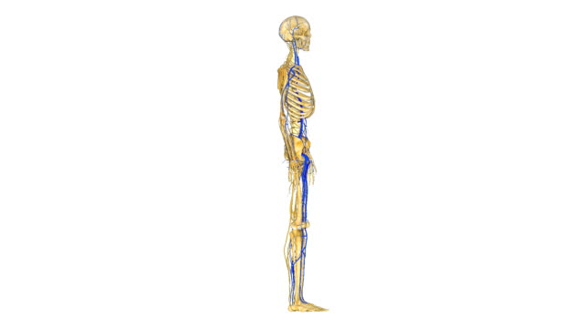 Skeleton with nerves video