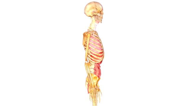Skeleton with Organs The human skeleton is the internal framework of the body. heart internal organ stock videos & royalty-free footage