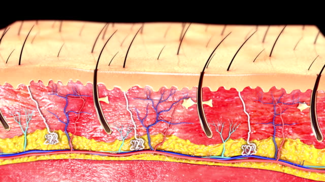 Skin Anatomy video