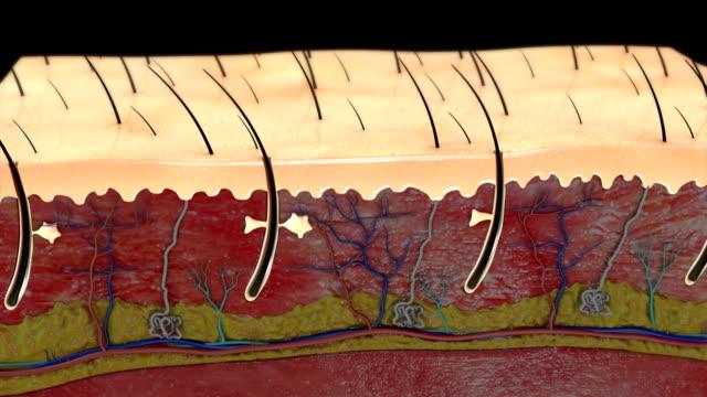 warstwy skóry - skóra część ciała filmów i materiałów b-roll