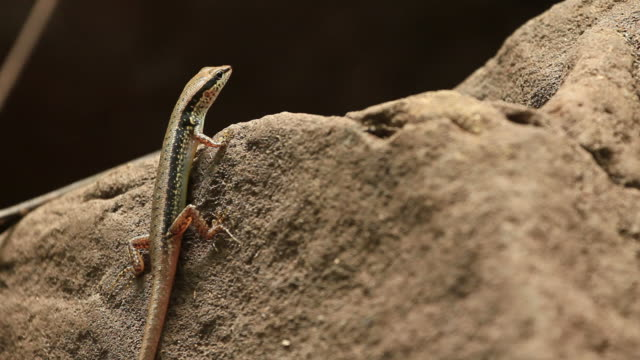 Skink rest on the rock  skink stock videos & royalty-free footage
