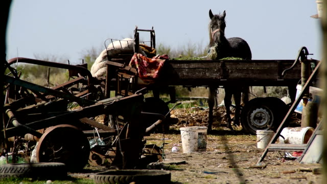 Skinny horse eats - strapped to a trailer in a junkyard