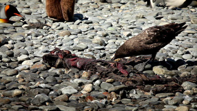 Skua Picks at Seal Carcass A skua picks at a seal carcass on a beach of South Georgia Island. scavenging stock videos & royalty-free footage