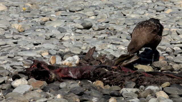 Skua Picks at Seal Carcass A skua picks at a seal carcass on a beach of South Georgia Island. south georgia and the south sandwich islands stock videos & royalty-free footage