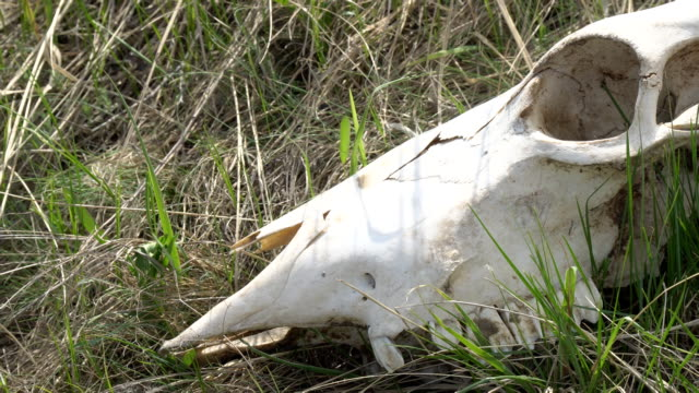Skull of a large animal on the grass video