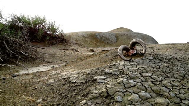Skull of gazelle Skull of gazelle in mud volcano place dead animal stock videos & royalty-free footage