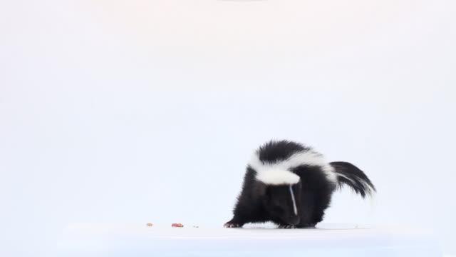 Skunk em branco fundo - vídeo