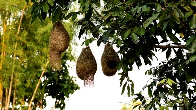 Skylark bird nests video