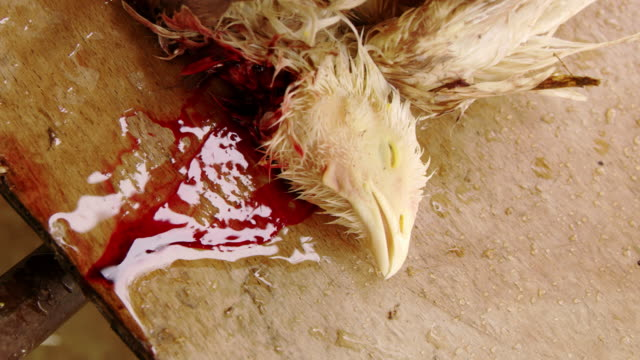 CU Slaughtered chicken video