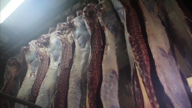 Slaughterhouse cows hanging on hooks in the cold half of cows. Half of a freshly cut cow carcass showing. Several freshly skinned and cut in half cow carcasses hanging in a butchery near a tiled wall. Slaughterhouse cows hanging on hooks in the cold half of cows. dead animal stock videos & royalty-free footage