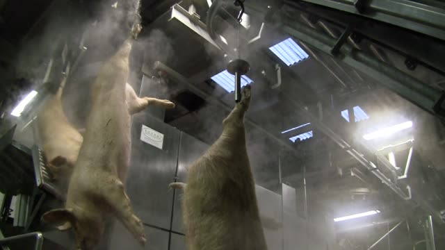 Slaughterhouse for pigs Mantova , Italy - April 10 - 2016: Pigs hanging dead come into hair-removing machine pork stock videos & royalty-free footage