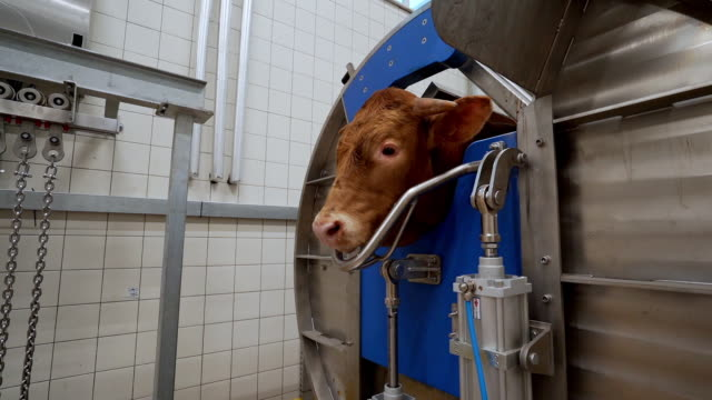 slaughterhouse Working in meat factory. dead animal stock videos & royalty-free footage
