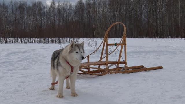 sled dog and sled - cane husky video stock e b–roll