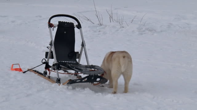 sled dog climbs into sleigh - cane husky video stock e b–roll