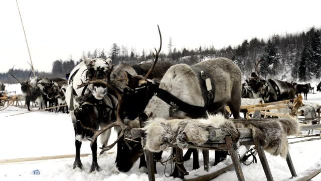 Trineo con renos en la península de Yamal - vídeo