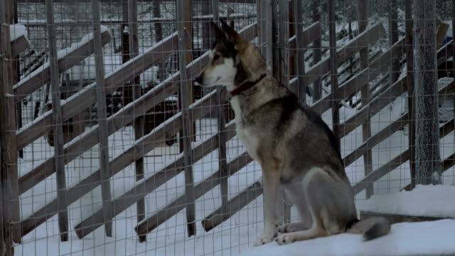 Sledge dog sitting on the kennel in outdoor cage video