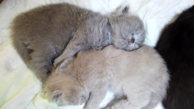 sova skönheter, nyfödda skotska fold kattungar - morrhår bildbanksvideor och videomaterial från bakom kulisserna