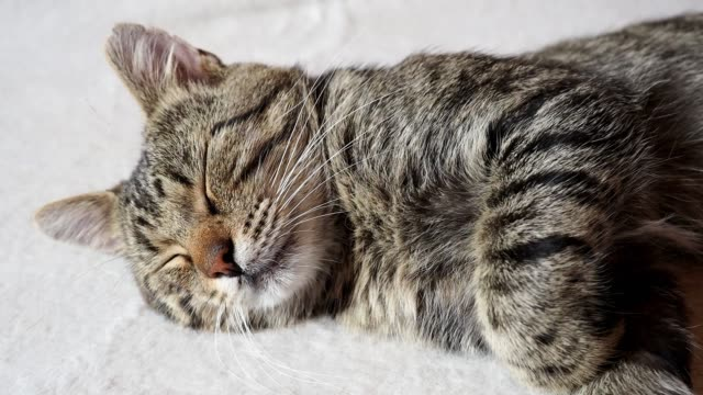 sleeping cat on sofa. tabby domestic cat. - gatto soriano video stock e b–roll