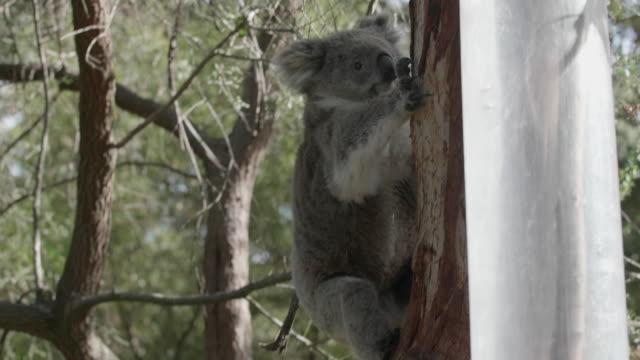 Sleeping koala on a branch video