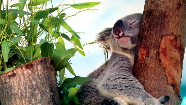 Sleeping koala video