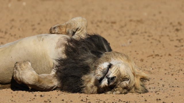 Sleeping male African lion video