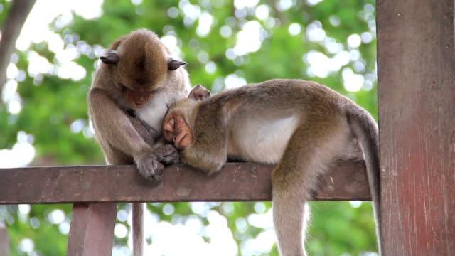 Schlafen Affen. – Video