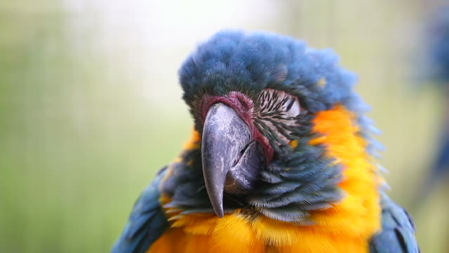 Sleeping Parrot video