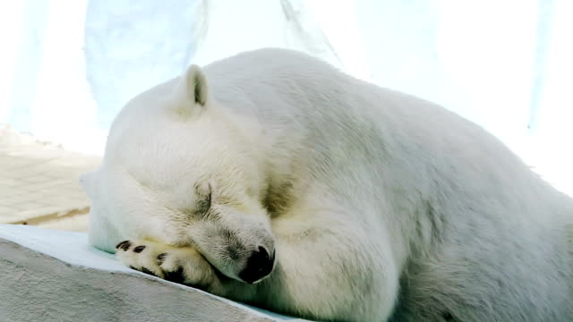 Sleeping polar bear video