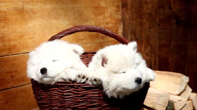 vídeos de stock e filmes b-roll de dormir samoiedo cachorros - samoiedo