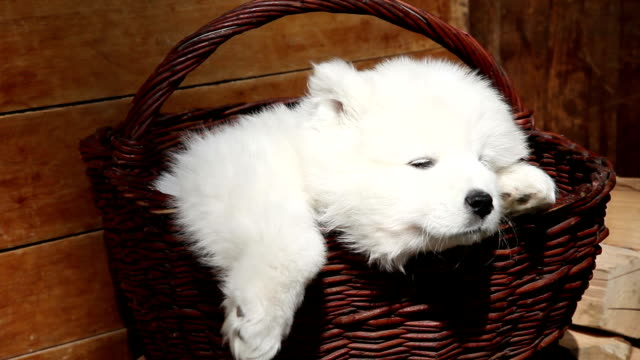vídeos de stock e filmes b-roll de dormir samoiedo cachorrinho - samoiedo