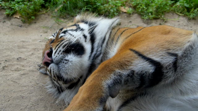 Sleeping tiger. video