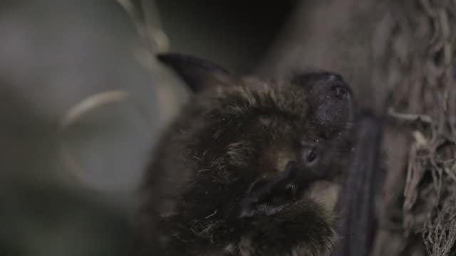 Video Sleepy bat climbing a tree