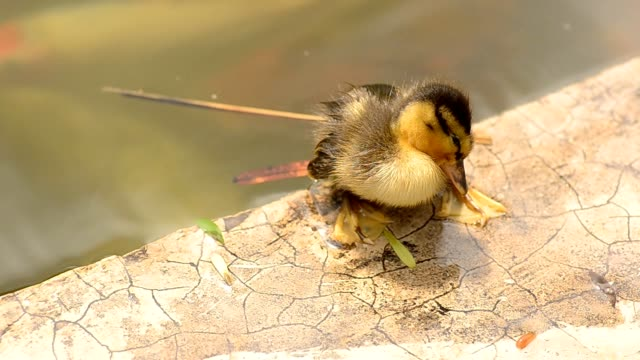 sleepy Duckling video