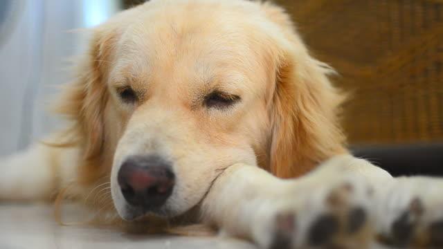 Sleepy Golden Retriever Dog video