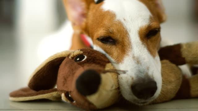 CU sleepy Jack Russel w/ favorite doll Close up shot of a sleepy Jack Russel Terrier with his favorite doll terrier stock videos & royalty-free footage