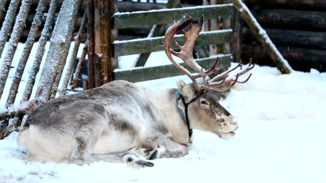 Sleepy Reindeer video