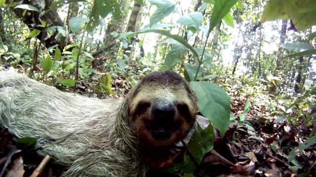 vídeos de stock e filmes b-roll de sleepy bicho preguiça - lento
