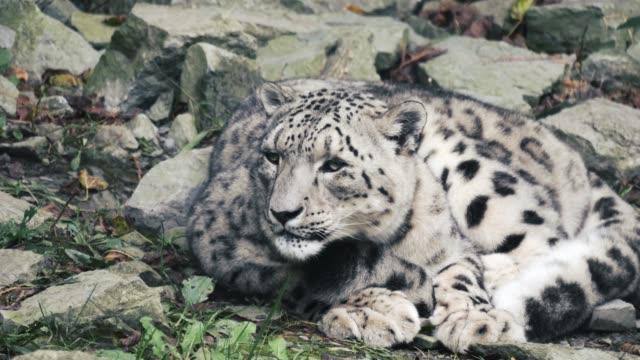 sömnig snöleopard - utdöd bildbanksvideor och videomaterial från bakom kulisserna