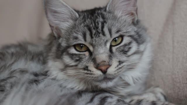 vídeos y material grabado en eventos de stock de gato tabby soñoliento - vibrisas