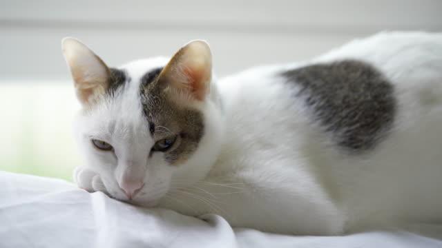グレー横になっている白い布の眠そうな白の国内猫午後にソファをカバーする、快適そうに見えます。 - ふわふわ点の映像素材/bロール