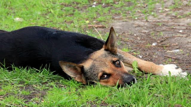sleepyhead  - cane addestrato video stock e b–roll
